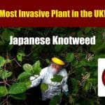 Japanese Knotweed: The Definitive Guide
