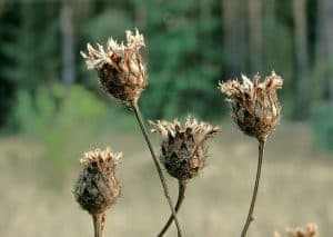 Dry wilted flowers in a field in autumn