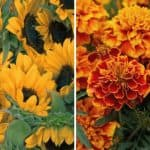 7 Fastest Growing Flower Seeds