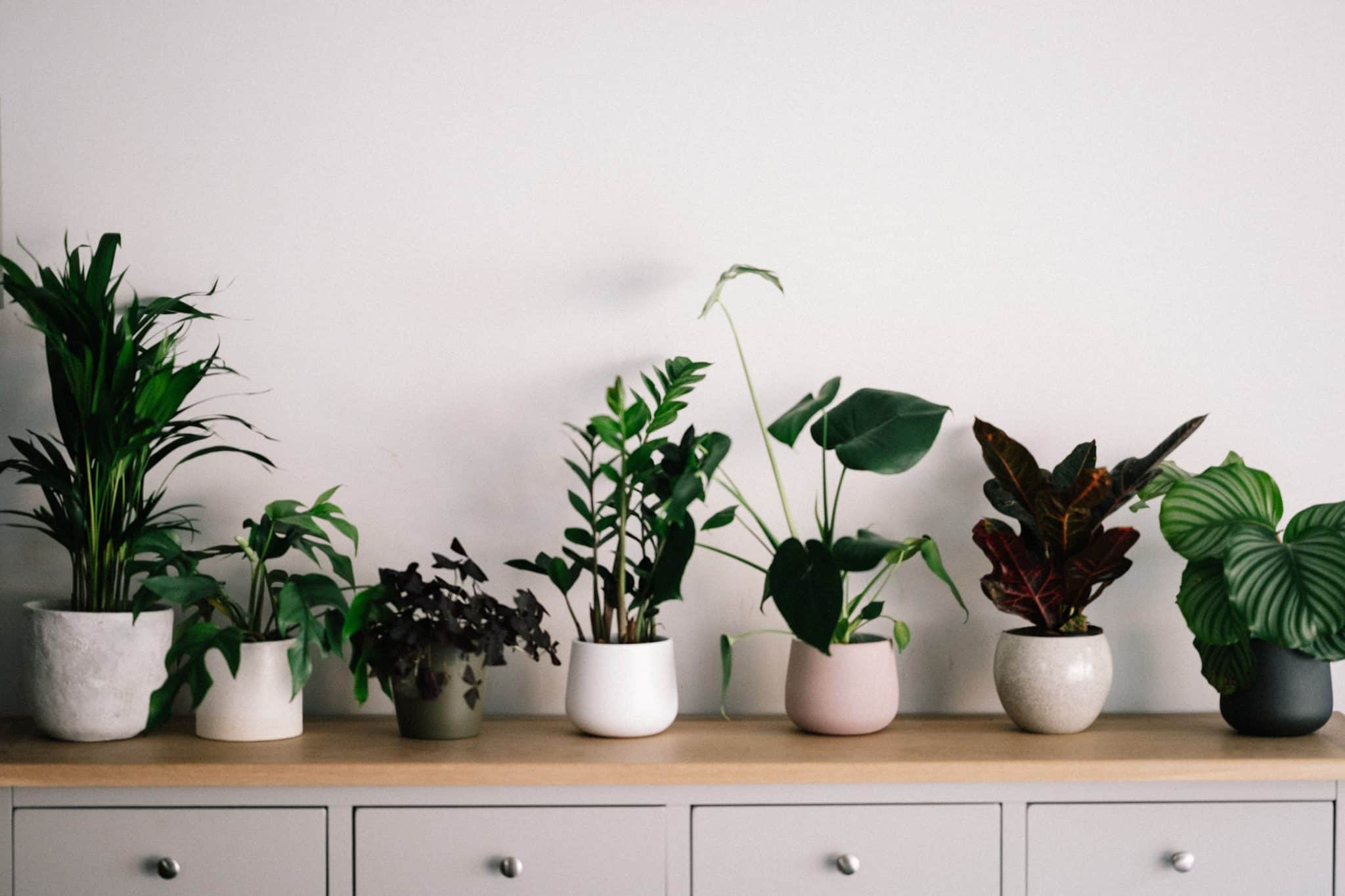 Row of houseplants in white pots on a cabinet