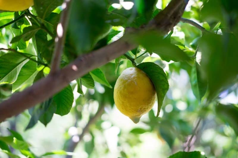 lemon growing from a tree branch