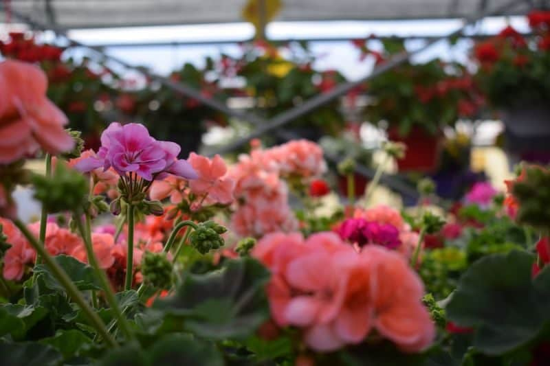 rows of purple and salmon pink flowers growing in a greenhouse