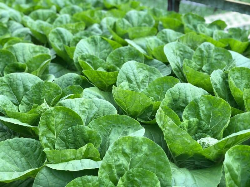 rows of green cabbages growing