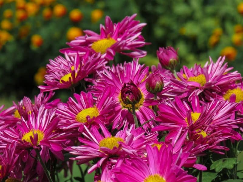 purple chrysanthemums with yellow centres