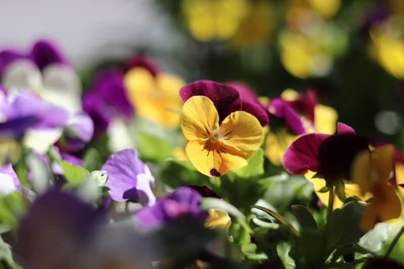 purple, maroon, and yellow flowers