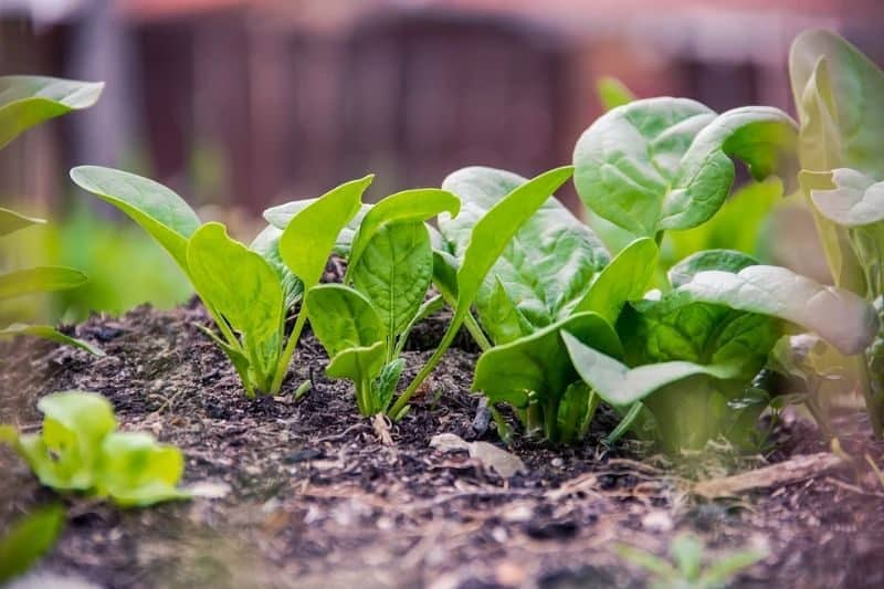 green leaves of vegetables sprouting from the soil
