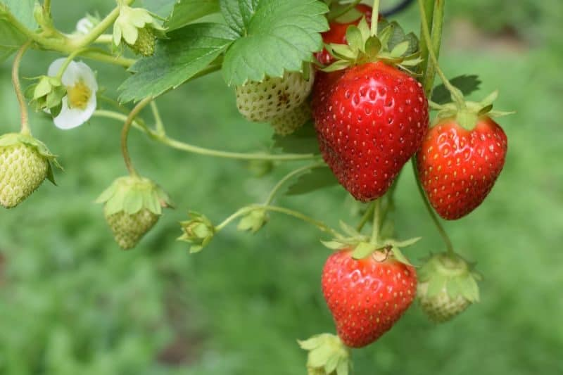 a plant with small green unripe and large red ripe strawberries