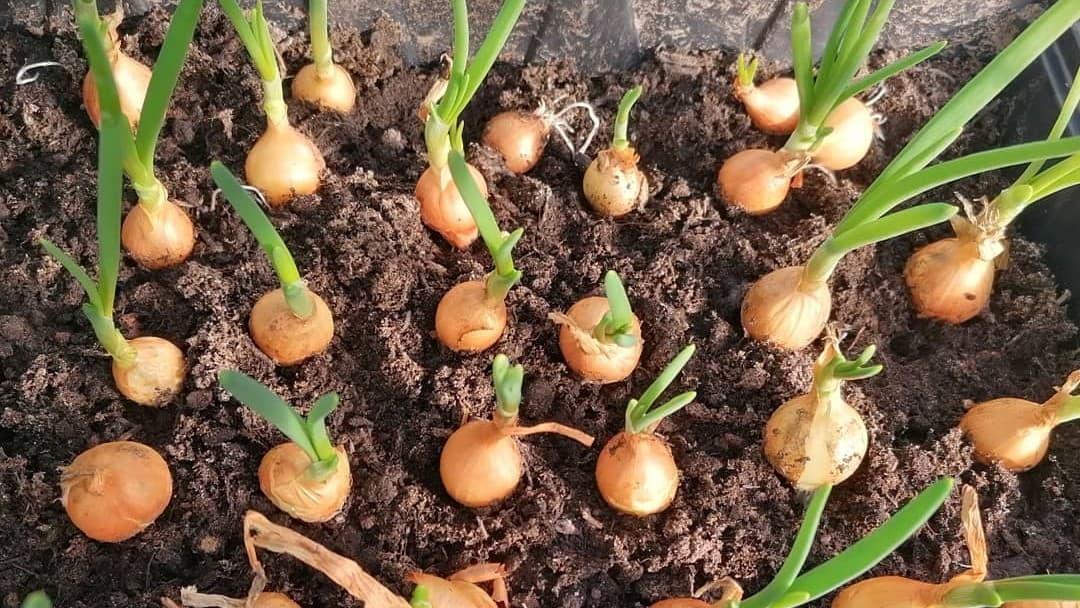 vegetable bulbs growing in rows in soil in a greenhouse