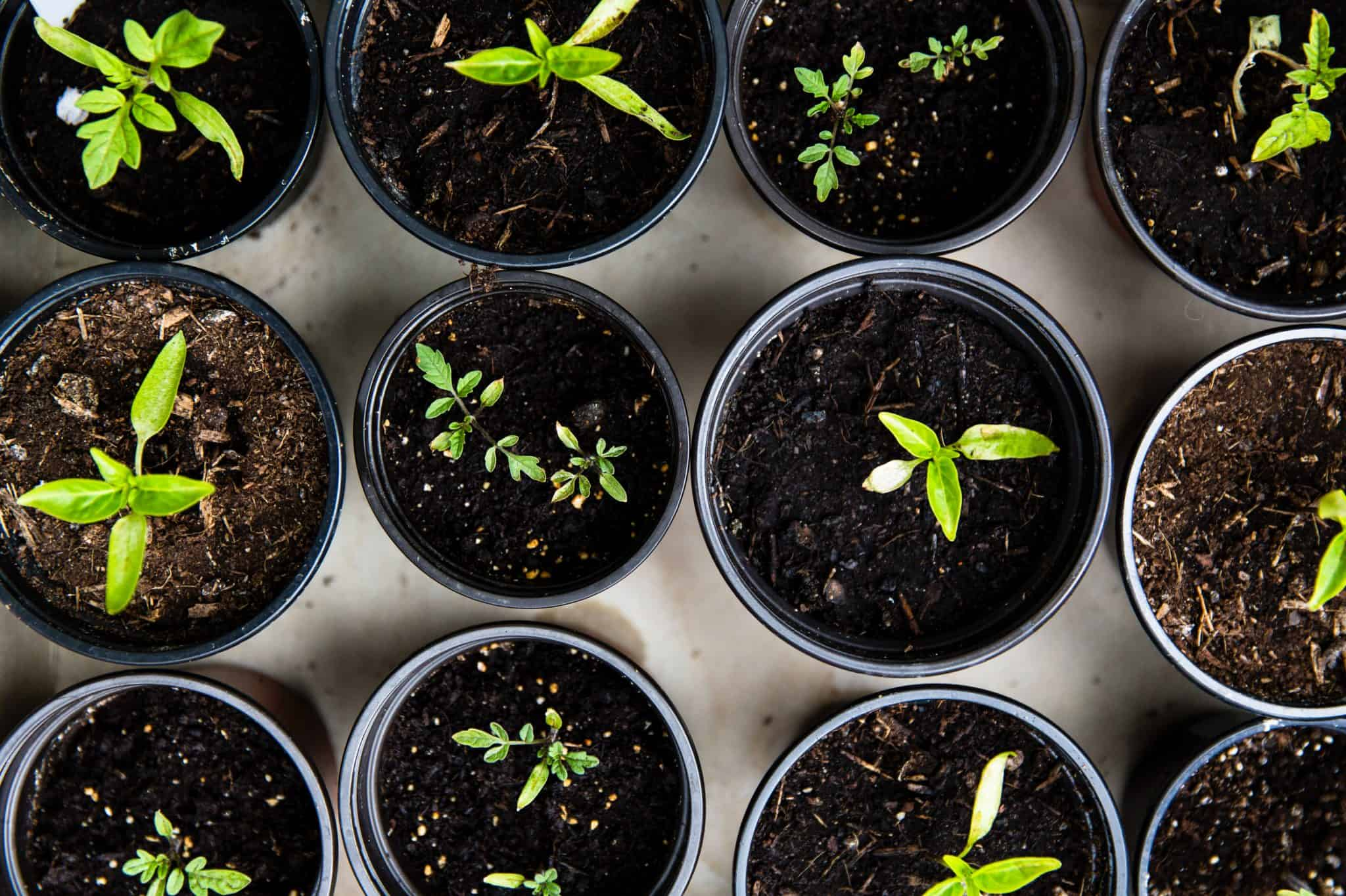 black plastic pots of budding green plants viewed from above