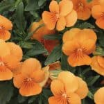 Plant Profile: Everything You Need to Know About Nasturtium