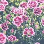 Plant Profile: Everything You Need to Know About Pinks, Dianthus