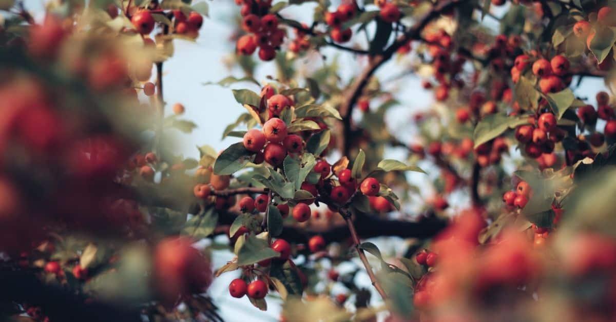 plant-profile-rosehip-guide