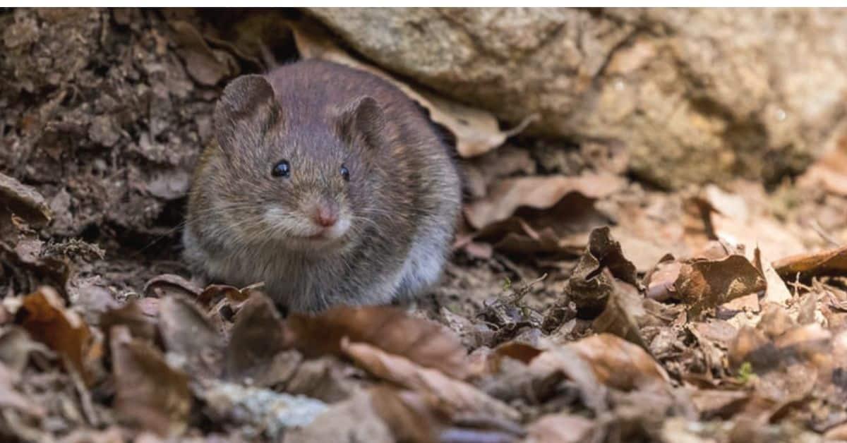 rats-in-the-garden