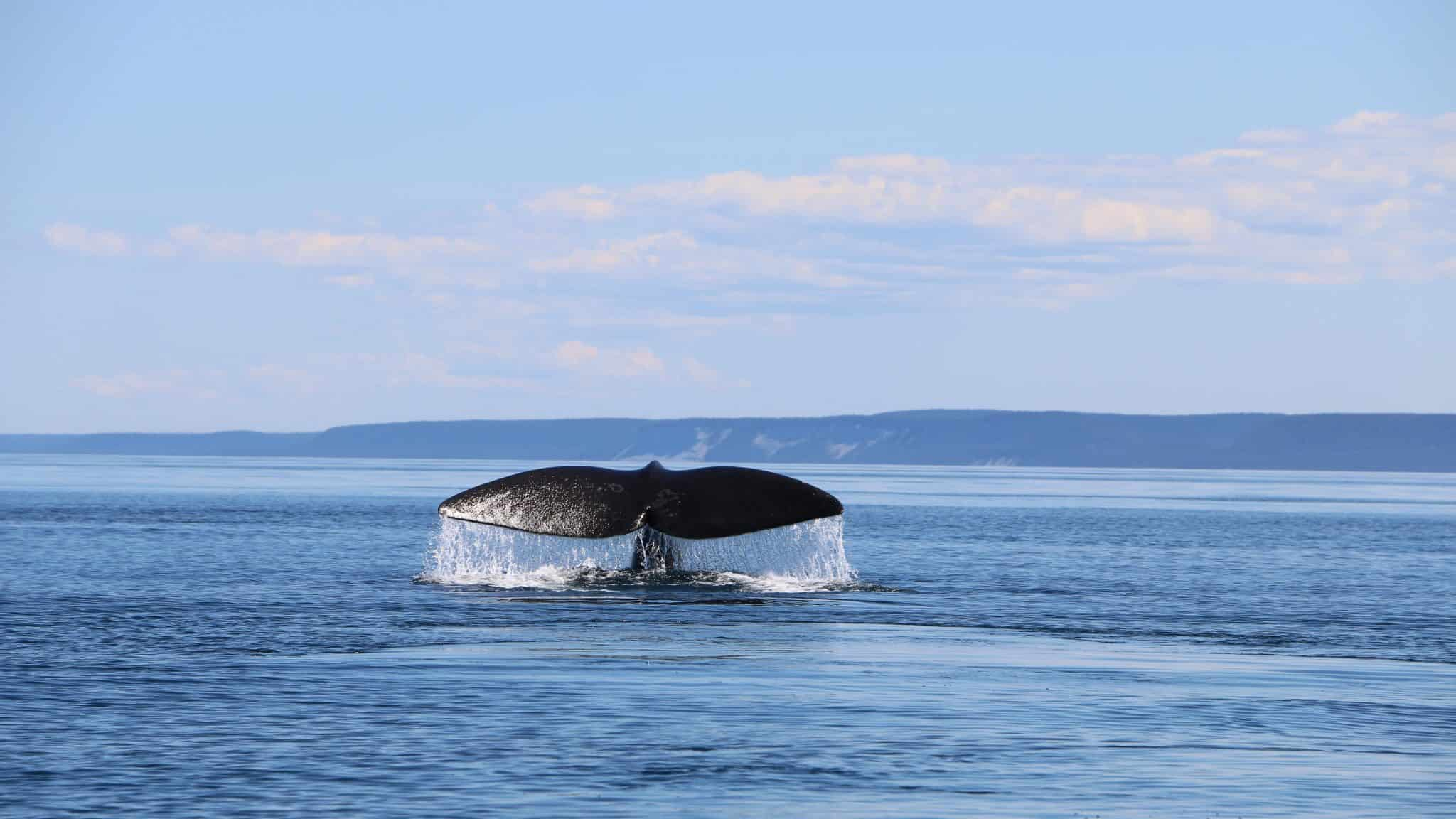 whale's tail breaching water in the sea backed by cloudy blue skies